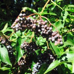 Flavonoid Herbs and Berries for Fall… in your backyard right now.