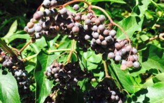 elderberries in california, nevada county herbal remedies natural