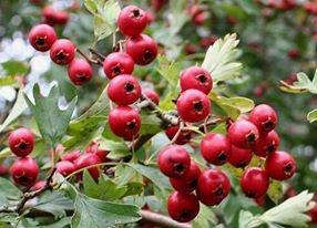hawthorn berries in califronia nevada county sierra foothils, california
