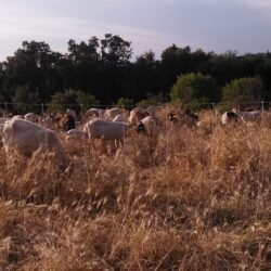 goats and sheep for sustainable grazing in nevada and placer county land clearing fire