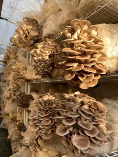 mushroom growing grass valley