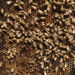 SAVE THE BEES- No Bees, No Food!